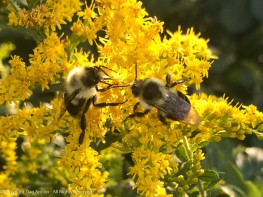 Bees like Goldenrod