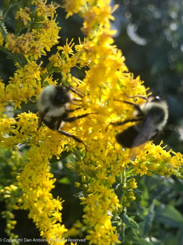 Bees like Goldenrod