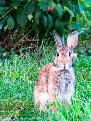 One of the bunnies who call our back yard home.