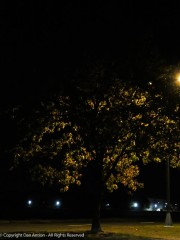 Every year at this time, I get to see these trees backlit by a street light in the early morning hours.