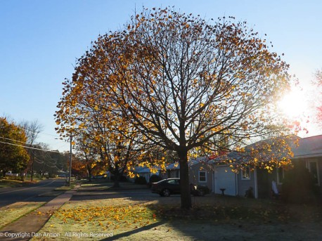 The day before the storm, this tree was a bright yellow ball.