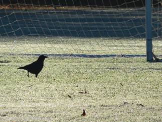 Jinx - checking out the soccer net.