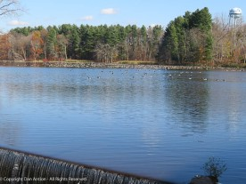 The Mill Pond is a popular stopover on the way south for the geese.
