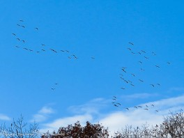 Geese - Lots of them.