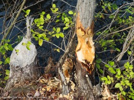 Beavers have been busy.