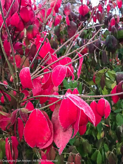 The only red leaves in our yard.