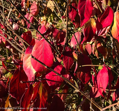 This bush is hanging onto its red leaves.