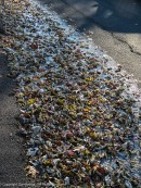 One neighbor didn't clean up his leaves. Now they're frozen in place.