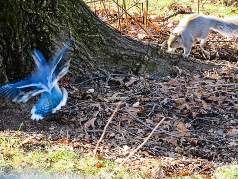 The squirrel and the blue jay both spotted the peanut on the ground. The race was on.