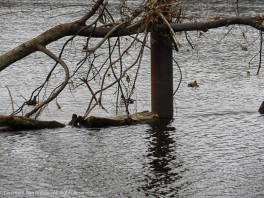 The sea monster appears to be chained to the dock support. Maybe that's to prevent it from going farther downstream.