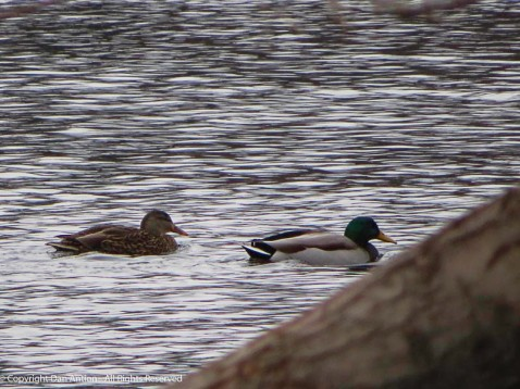 Duck couple.