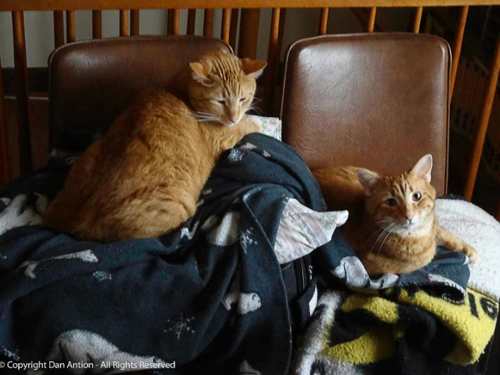 """After arriving at my brother's house, we dropped his luggage """"for a minute"""" on two chairs. It immediately became the new favorite bed for Butch and Sundance. Sadly, Butch has left us."""