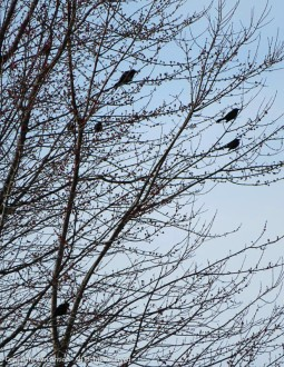 """""""When does the game start? I hope those crows haven't been practicing."""""""