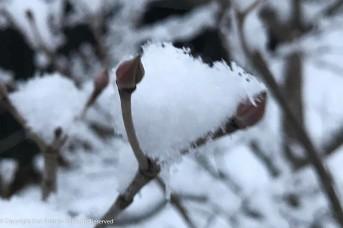 Snow buds.