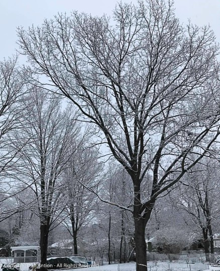I love the look of fresh snow on bare trees.