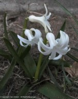 Hyacinth - Confirmed by The Editor and several readers. It's been eaten by bunnies.