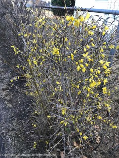 I butchered our Forsythia, but some of it is blooming.