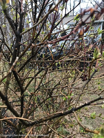 Lilacs, Sand Cherries and Rose of Sharons are getting ready to pop.