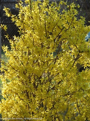 Forsythia - It belongs to our neighbor but it's brilliant in the morning sun.