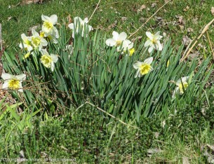A little patch of spring. These are at the driveway to the dairy store we shop at.