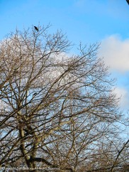 Crows love to secure the highest branches.