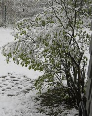 Our white lilac was not impressed with the unexpected heavy wet snow on Saturday.