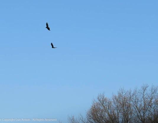 Crows in flight.