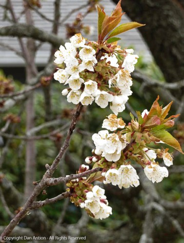 This tree is so pretty as it blooms.