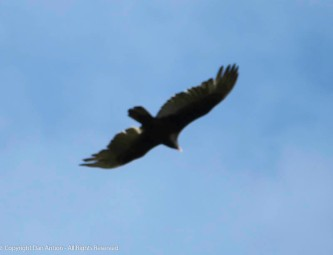 Lots of squawking in the trees with this guy hovering overhead.
