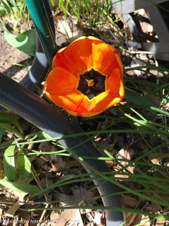 One tulip insists on blooming in this area. Every year like clockwork.