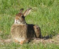 Stoic bunny
