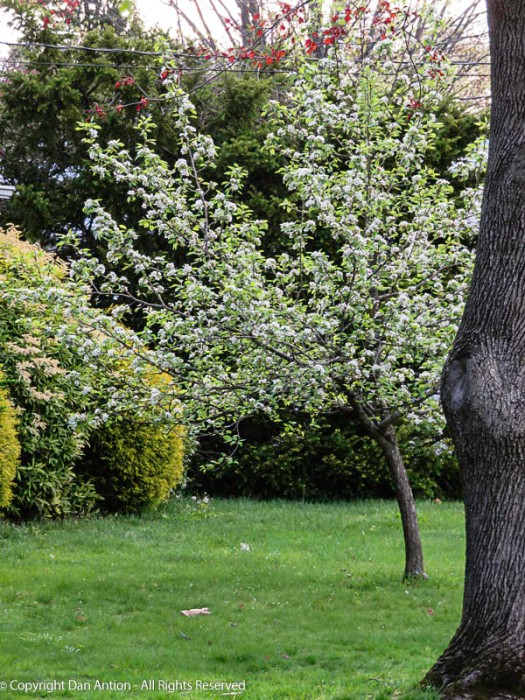 I love the way spring rolls out slowly, from one tree species to the next.