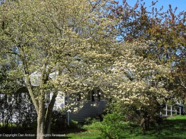 Our dogwood is starting to bloom.