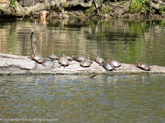 I love the way the turtles crawl up on the logs to bask in the sun.