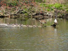 Looks like the turtles are willing to share the log with the geese.