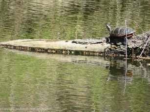 This was the largest turtle I saw.