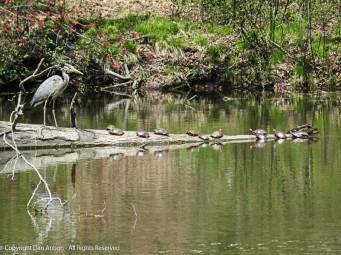 Heron enjoying the sun with the turtles.