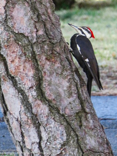 This looks like a female Pileated Woodpecker. The males have a red stripe on their cheek. To be honest, I don't see the red strip on the identification website.