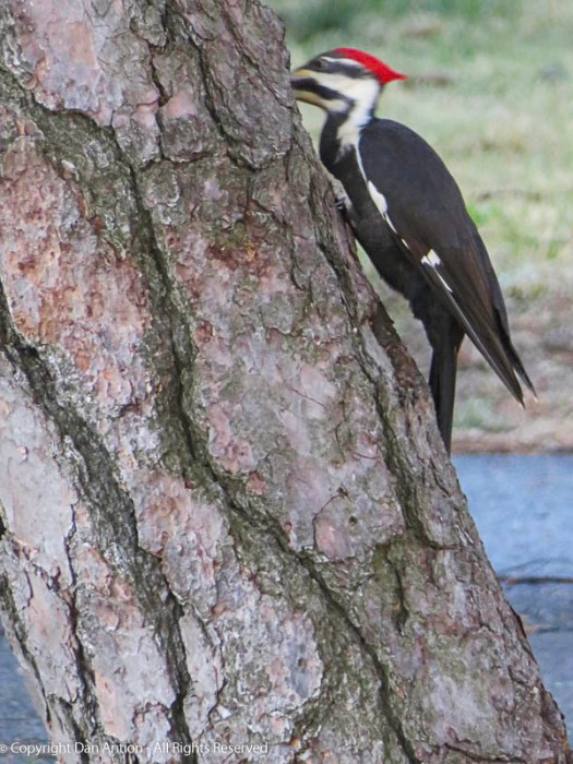 Woody at work. It was hard to get a picture of it without its beak in the bark.