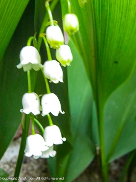 Lilies of the Valley are starting to bloom.