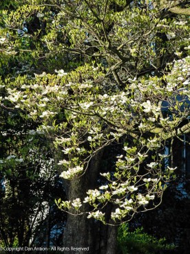 Our dogwood is in full bloom this week.