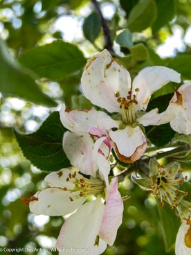 Apple blossoms in the park.
