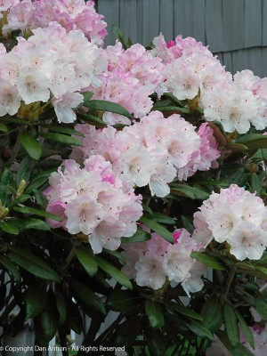 Our rhododendrons are blooming.
