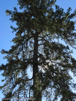 Tall, scraggly pine tree.