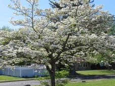 This isn't our dogwood, but it's blooming and I like walking by.