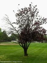 It looks like winter took its toll on this tree.