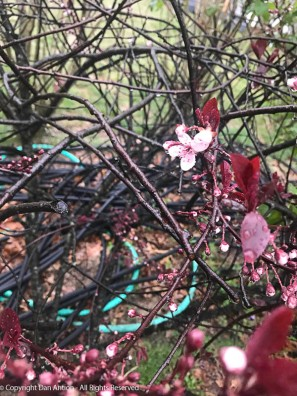 On Thursday, this was the lone Sand Cherry that dared to open.