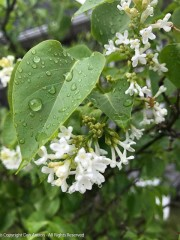 White lilac after a storm
