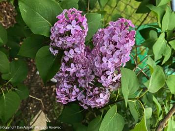 Lilacs are so pretty.