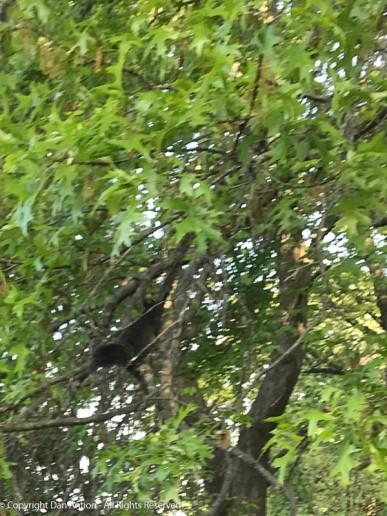 Smokey in our neighbor's oak tree.